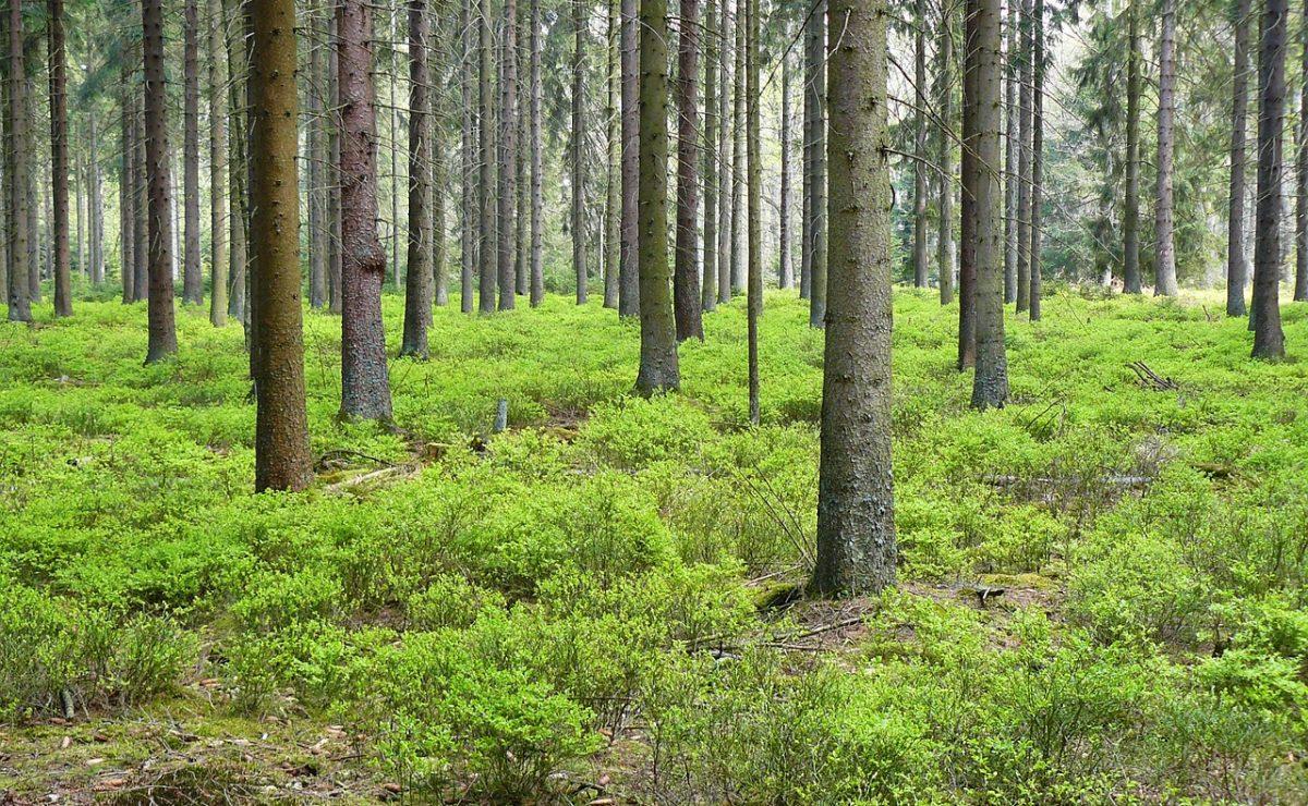 Nadelholz-Wald